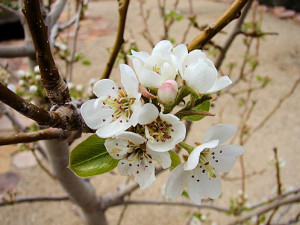 Starking_Delicious_ Pear_Tree_Flowers
